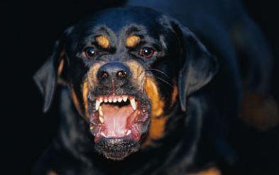 Rottweiler morde un bimbo di 3 anni: il padrone uccide il cane soffocandolo