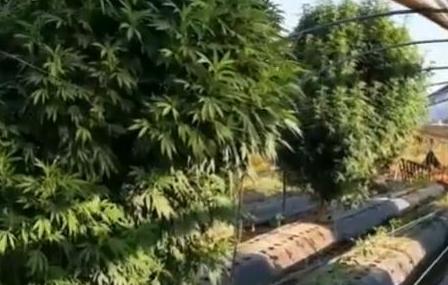 Giugliano. Scoperta dalla polizia una piantagione di marijuana