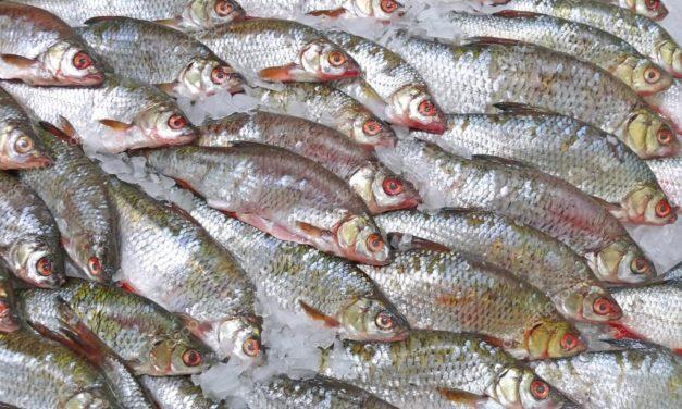 Pesce congelato sequestrato a Pozzuoli: la scoperta della Polizia Municipale