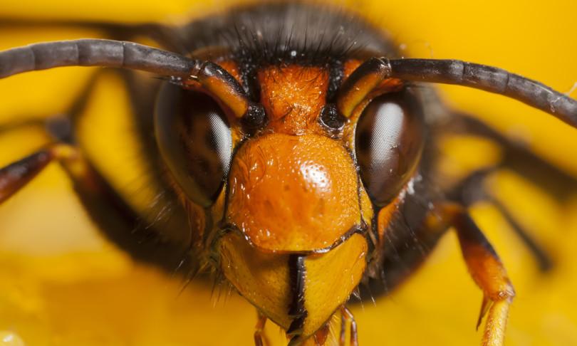 Afragola e Casoria invase dalle vespe giganti