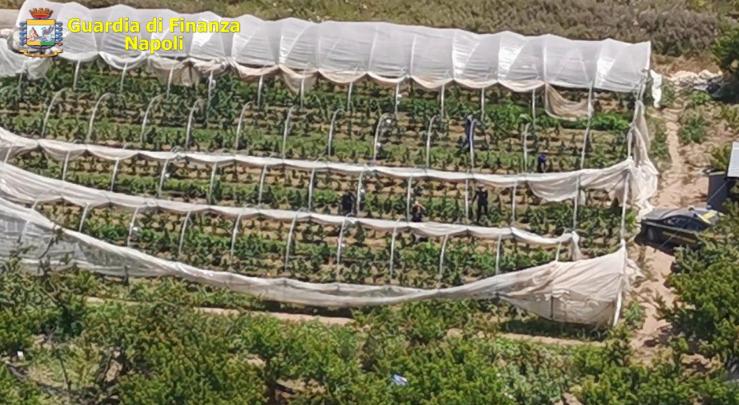 Scoperta una piantagione di marijuana a Giugliano: sequestro della Guardia di Finanza