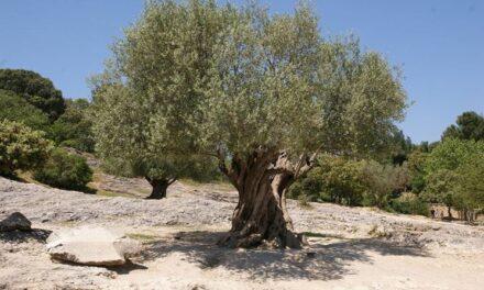 L' anziano si arrampica sull'albero per raccogliere olive. Poi il dramma