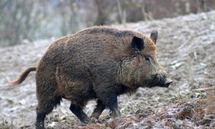 Campania. Aveva un cinghiale in cattività e altri animali senza autorizzazione: denunciato un 70enne